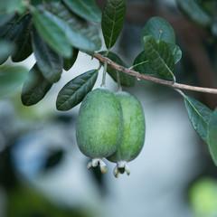 フフェイジョアの果実