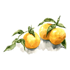 Tangerine with leaves. Watercolor illustaration on white background. Vector