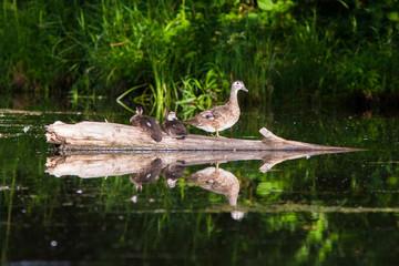 Wood duck babies in summer