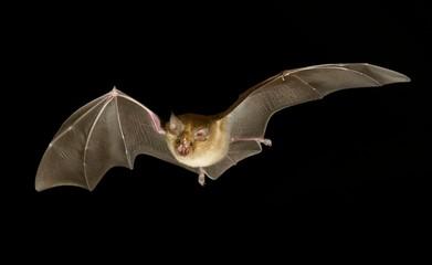 Greater horseshoe bat (Rhinolophus ferrumequinum) in flight at night, Luxembourg, Europe