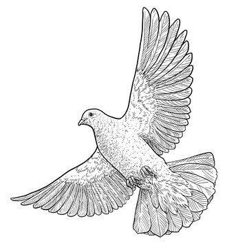 Flying dove illustration, drawing, engraving, ink, line art, vector