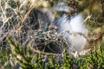 Spider's Web in the trees in the forest as the background