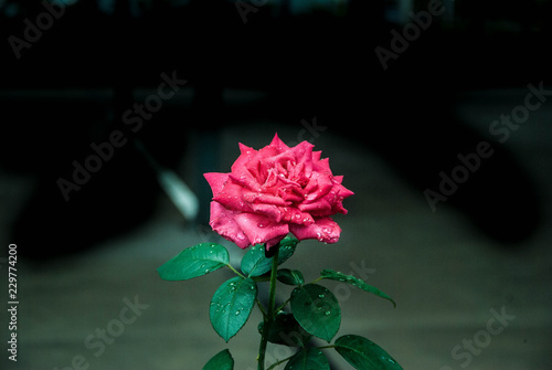 64bdcff68c0 rose