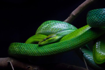 Red Tailed Green Ratsnake (Gonyosoma oxycephalum) found in Southeast Asia.