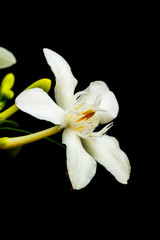 Stores photo Fleur de lis gardenia flowers on a black background.