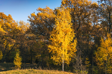 Birch with golden leaves on the background of the autumn forest