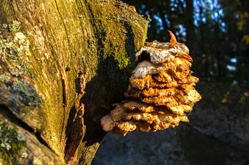 Laetiporus sulphureus. Sulphur Shelf Fungus Laetiporus sulphureus growing out of the side of a tree.