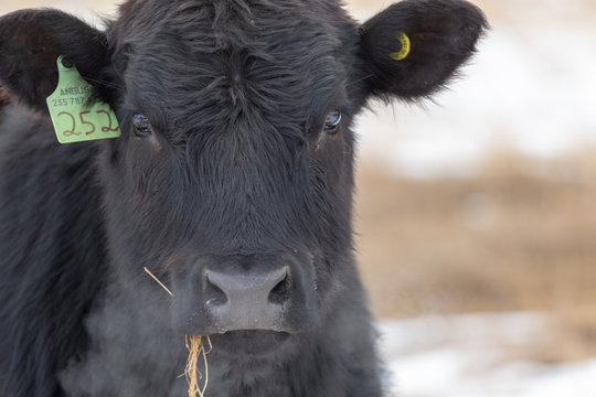 Close headshot of an Angus bull looking at the camera with hay hanging from his mouth exhaling breath in cold air