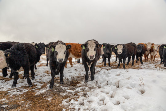 Hereford cattle looking at the camera, in a fied with snow
