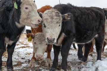 3 Curious Herefords looking at the camera part of a cattle in a field in winter close up view