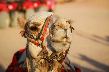 Desert in Egypt. Sharm el Sheikh. Sand and Sand Borkhan. Rock and sunset. A funny traditional Arabian camel in a harness