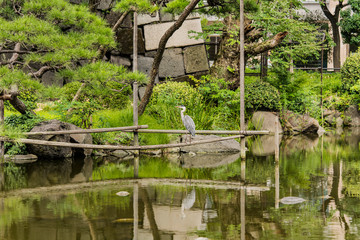 Pine tree and Japanese heron in the Shinji Pond in the public garden of Hibiya Park bordering the southern moat of the Imperial Palace.