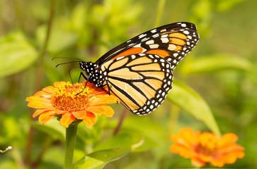 Migrating Monarch butterfly refueling on an orange Zinnia flower in fall