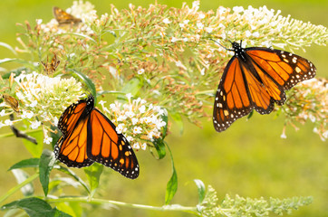White Butterfly bush with a migrating Monarch butterfly refueling on nectar, and another one on the background