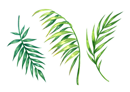 Set of green palm leaves, watercolor painting on white background, isolated with clipping path.