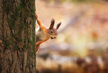 Stores à enrouleur Squirrel animal red-haired funny squirrel in the autumn Park Peeps out of the tree trunk on the background of bright yellow foliage with a nut in his teeth