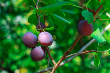 Plum on the branch. Natural juicy eco- plums on a branch.