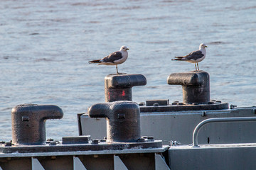 Common gulls sitting on a metal bollard
