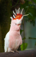 A Major Mitchell cockatoo (Lophochroa leadbeateri). with a colorful prominent crest, Queensland, Australia.