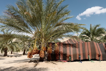 Palm date tree and traditional camp in Biskra