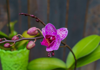 A pink orchid in a pot, against a background of dark boards. Natural background and design element.