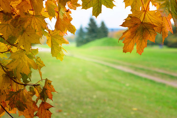 Red, yellow, golden maple tree leaves in autumn background