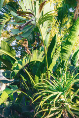 Beautiful juicy green flowerbed with heat-loving plants. Aloe vera, cacti and Banana trees