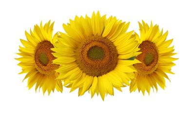 Sunflowers isolated on white background.