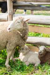 Sheep with lambs in the shelter