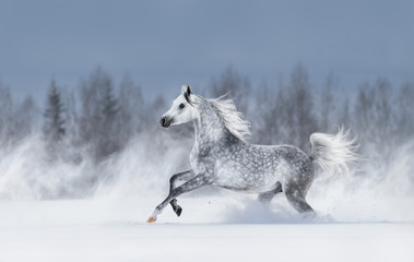 Grey arabian horse galloping during snowstorm.