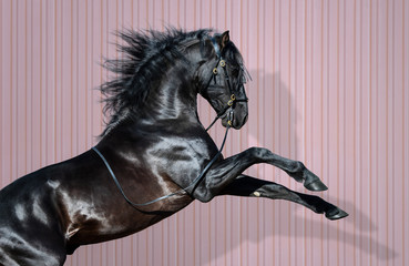 Wall Mural - Black Pura Spanish Horse rearing on striped background.