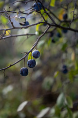 The fruit of the blackthorn.