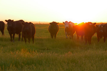 AERIAL: Flying towards a herd of cows roaming around a vast meadow at sunset. Wall mural