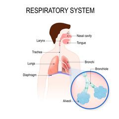 respiratory system. human anatomy.