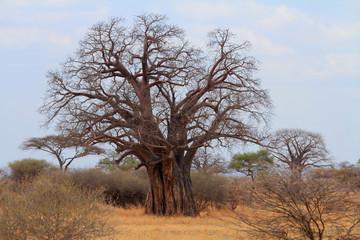 Fotorolgordijn Baobab African Baobab Tree (Adansonia digitata)