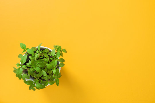 Basil in a white pot on yellow background