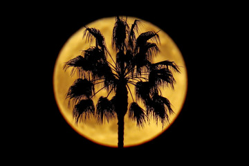 A full moon rises past a palm tree in Encinitas