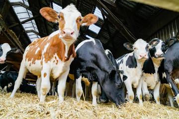 Rinder im eingestreuten Laufstall