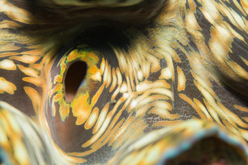Macro underwater photography of a Giant Clam detail. The picture was taken in Koh Tao Island, Tanote Bay dive site, Thailand.