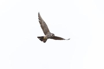 Flying Peregrine falcon