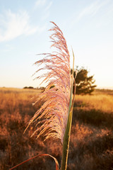 Wispy Pink dried weeds at sunset on the coast of California