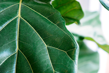 Closeup image of Fiddle leaf Fig leaves