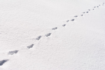 Fox foot animal tracks in the snow