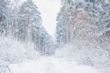 Winter Christmas picturesque background with copy space. Snowy landscape with trees covered with snow, outdoors.
