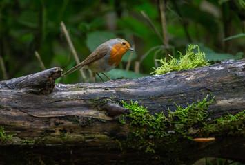 Robin Bird Autumn forest Europe
