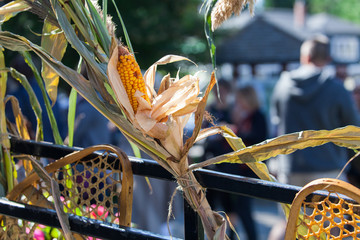 Old fashioned snow shoes, corn cobs and hay being displayed in a native american gathering outdoors - Shot at a native american culture and story telling festival in Canada