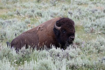 Yellowstone NP, Bisons im Lamar Valley
