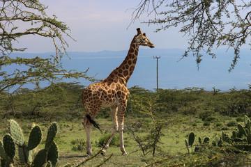 beautiful giraffe walking into the wild savanna