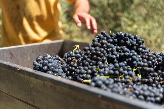 Man's hands pushing grapes into a grape crusher machine