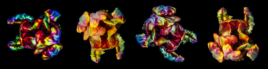 Fine art colorful macro  flower portrait fantasy of  four isolated parrot tulips in surrealistic / fantastic realism style in glowing pop-art  rainbow colors with strong texture on black background